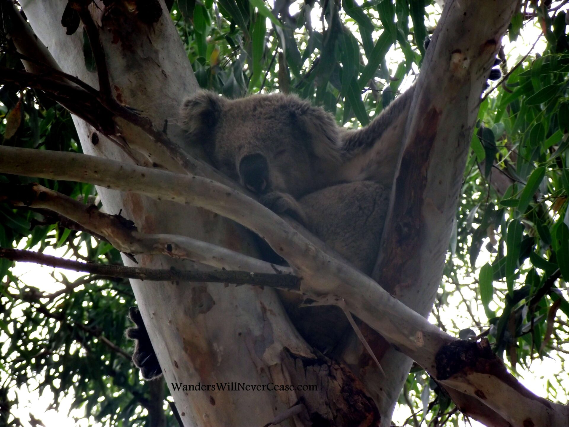 I've Found The Best Place To See Wild Koalas!
